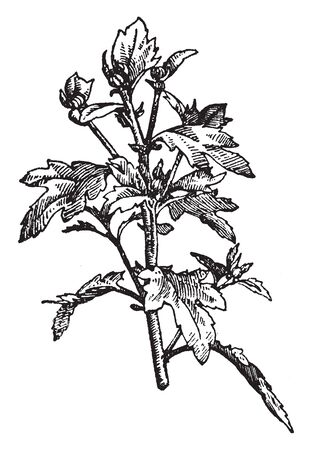 The image shows a terminal bud of chrysanthemum. The disc florets of wild taxa are yellow. The fruit is a ribbed achene, vintage line drawing or engraving illustration.