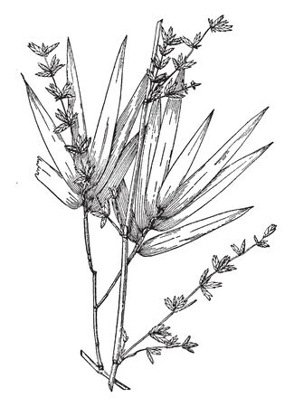 This is image of Bambusa Arundinacea. The branches are spiny & It is grows more than sixty feet high, vintage line drawing or engraving illustration.