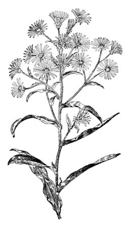 Leaf base stalk less and leaf pointed. The hairy stems and flower grow on top of plant, vintage line drawing or engraving illustration. 向量圖像