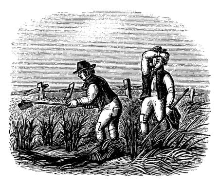 Two men working in field of corn, vintage line drawing or engraving illustration Ilustração