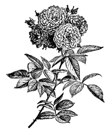 A picture, that's showing a multiflora rose. The flowers are small and white and pink. The leaves are oval shaped. The stems are thorny, vintage line drawing or engraving illustration.