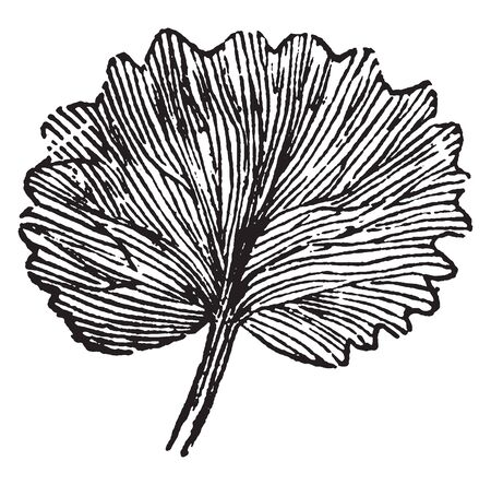 The leaf shape is compound. The veins go out central from the lower side of the leaf, vintage line drawing or engraving illustration.