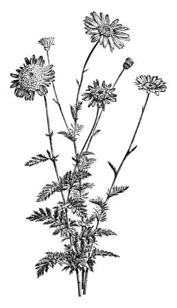 A picture, that's showing a pyrethrum Roseum. Its flowers, typically white with yellow centers. The stem is very long and thin, vintage line drawing or engraving illustration.