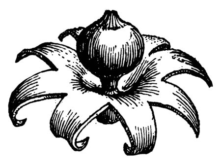 This is type of mushroom. It is like a flower.it is rounded shape, vintage line drawing or engraving illustration. Ilustrace