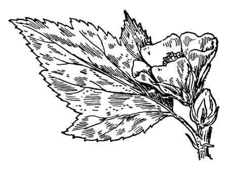 In this picture, the leaves and flowers of the plant called Marsh Mallow are shown together, vintage line drawing or engraving illustration.