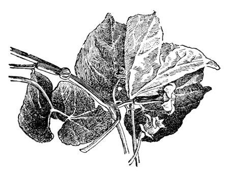 Sicana odorifera is a large, herbaceous perennial vine native to tropical South America, grown as an ornamental plant. The large, hairy, palmately lobed leaves grow to 30 cm in width, vintage line drawing or engraving illustration.