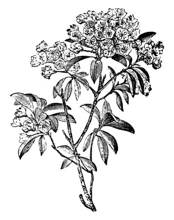 It is a Mountain-laurel plant and white and pink colors are found in its flowers, vintage line drawing or engraving illustration.