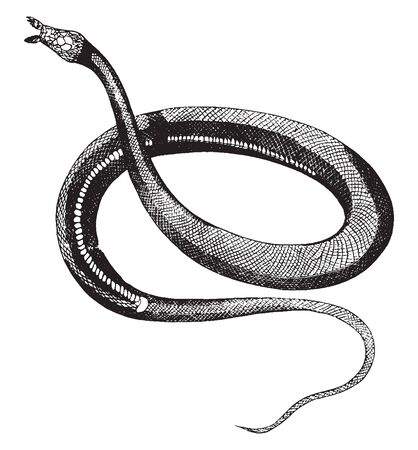 Herpeton tentaculatus is furnished with two soft prominences and covered with scales, vintage line drawing or engraving illustration.