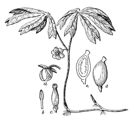 This picture belongs to a plant named Mayapple, in which it has been told about the process of planting till it gets bigger than germination, vintage line drawing or engraving illustration. Ilustração