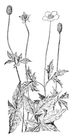 Anemone virginiana is herbaceous plant; the flowers are white or greenish-white, vintage line drawing or engraving illustration.