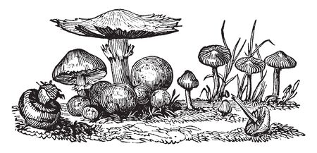 This pictures showing a mushroom fungi. It is a samll. The stem are thick, rounded, vintage line drawing or engraving illustration.