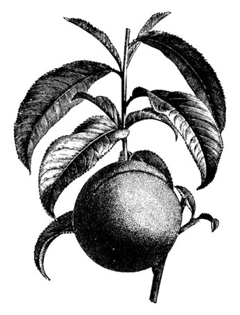 This picture is showing the growth of Nectarine fruit on branch, vintage line drawing or engraving illustration. Foto de archivo - 132827387