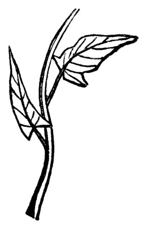 This is a image of hastate leaf. The leaf attached to stalk. Leaf is small and thin. The stalk is thin and rounded, vintage line drawing or engraving illustration.