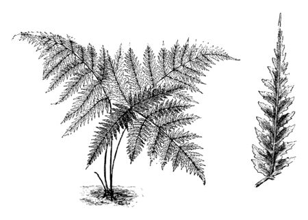 This is Habit and Detached Pinnule of Nephrodium Leuzeanum plants. This fern has fronds. The pinnae are about one to one and a half feet long. This fern is found in North India at Fiji, vintage line drawing or engraving illustration.