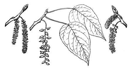 This picture depicts various branches, which are called Populus Balasamifera, which is native to North America is the branch of the Ontario Balsam Poplar tree, vintage line drawing or engraving illustration. 向量圖像