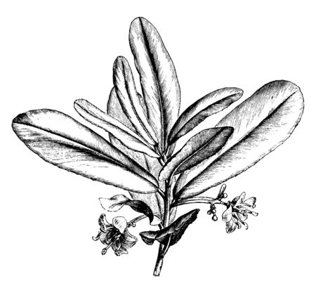 The Brexia Madagascariensis is green shrub. Lanceolate leaves alternately arranged on stem end. Individual flowers growing on common long stem, vintage line drawing or engraving illustration. 向量圖像