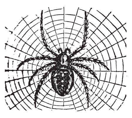 Epeira Diadema is a genus of spiders and the type of a family called Epeirdae, vintage line drawing or engraving illustration.
