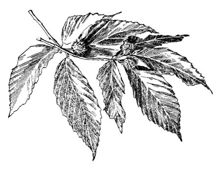 Image of Fagus Grandifolia branch with attractive glossy green leaves providing deep inviting shade, vintage line drawing or engraving illustration. Ilustração
