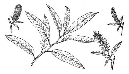 Picture shows the branch of Sand Dune Willow. Some broader-leaved species are referred to as sallow. The leaves are simple, feather-veined, and typically linear-lanceolate, vintage line drawing or engraving illustration.