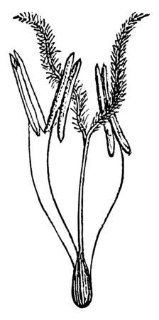 This is the image of flower of a grass. The florets and glumes are particular to the grass family, vintage line drawing or engraving illustration.