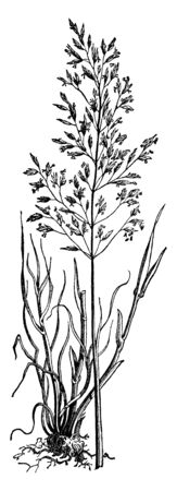 The leaves of this tree are long and straight, grass grows up to two feet, and the roots are deep down in the soil, vintage line drawing or engraving illustration.
