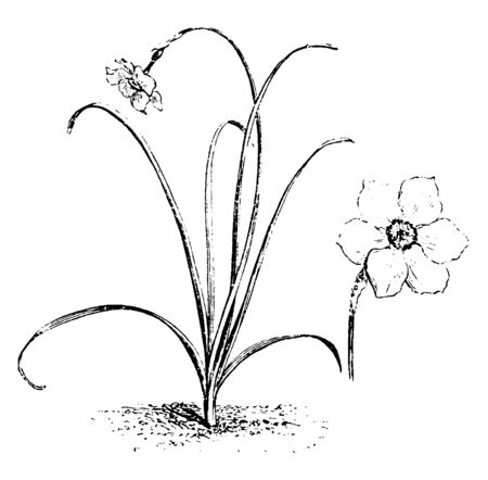 A picture showing Twisted flower of Narcissus Poeticus, vintage line drawing or engraving illustration. Çizim