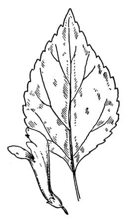 A picture shows the S. serrata Skullcap leaves and flower. Its leaves are flat, narrow, cleft or recess between two lobes and flower are purple, bell shaped. It belongs to Mint family, vintage line drawing or engraving illustration. Ilustração