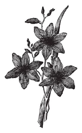 This is a very attractive garden plant, it has lots of bright orange flowers growing on this plant, vintage line drawing or engraving illustration. Иллюстрация