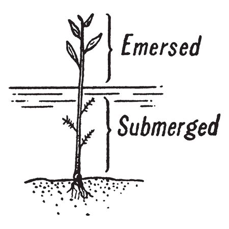 In this frame there is a plant which is rooted in the soil and half part of plant is in water and half is outside the water. The area of plant outside the water is called Emergent, vintage line drawing or engraving illustration.