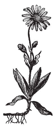 A picture shows Arnica Plant. It is also known as wolfs bane, leopards bane, mountain tobacco & mountain arnica, is a moderately toxic ethnobotanical European flowering plant in the sunflower family, vintage line drawing or engraving illustration. Ilustracja