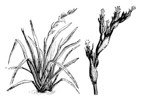 A picture shows the Small Flax Lily. The flowers are white with greenish outer segments; light-blue flowers with prominent yellow stamens are produced, vintage line drawing or engraving illustration.