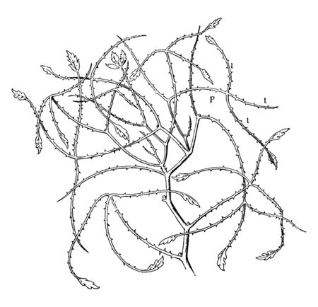 A picture showing Australian Blackberry Leaves. Its a very thorny plant shrub. Stems, branches are irregularly and leaves rarely produce, vintage line drawing or engraving illustration.