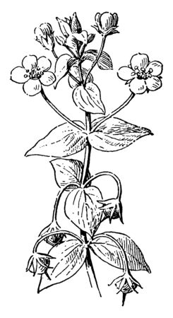 This picture represent the Pimpernel Flowers which is known as Axillary and solitary flowers, vintage line drawing or engraving illustration.