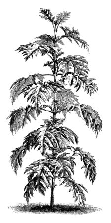 It is a picture of Montanoa Bipinnatifida shrub grows six and eight feet tall, vintage line drawing or engraving illustration.