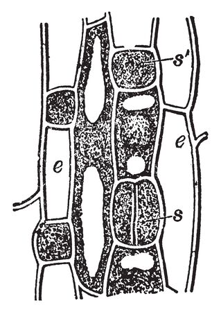 An image of Hyacinth leaf stoma formation, seen from the surface, vintage line drawing or engraving illustration.