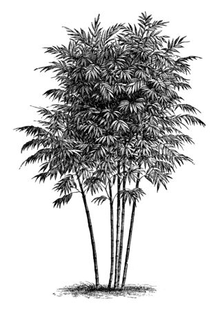 A bambusa arundinacea growing straight and long, they have more branch and stem. Branches spread out from base, blunt leaves are grown on the branches, vintage line drawing or engraving illustration.