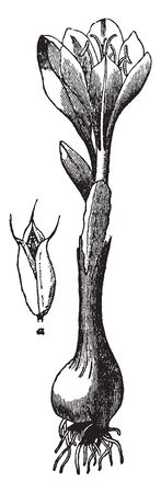 A genus of chiefly fall-blooming Old World corm-producing herbs that produce flowers resembling crocuses, vintage line drawing or engraving illustration.