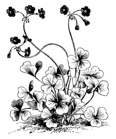 Oxalis Bowiei is red and yellow in color inside the flower, vintage line drawing or engraving illustration.