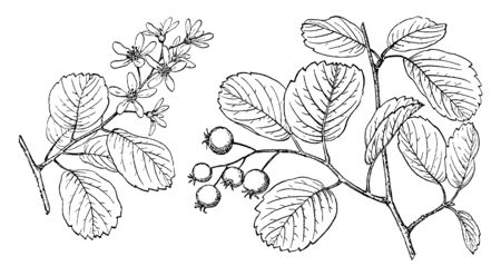 Branch of Saskatoon tree, which is in the rose family. Its leaves are oval-shaped and similar in flavor to blueberries. The tiny flowers are snowy white, with five petals and 12  20 stamens, vintage line drawing or engraving illustration. Illustration