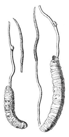 Cordycep Fungus is a two-part. One is the stoma that is thin and second is sclerotium that is Thick, vintage line drawing or engraving illustration.