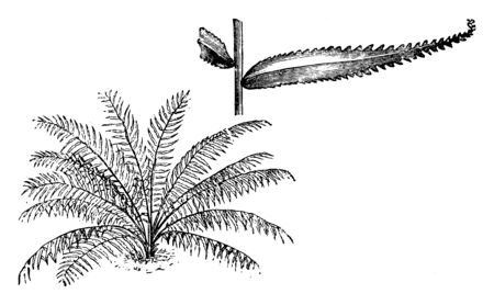 This is Habit and Portion of Detached Frond of Nephrolepis Davallioides along with sharp -toothed leaf-edges it shows detached pinna of the nephrolepis davallioides furcans fern, vintage line drawing or engraving illustration. Illustration