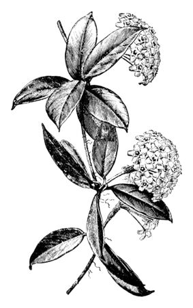 Hoya carnosa is a common house plant grown for its attractive waxy foliage and sweetly scented flowers. Flowers are growing in clusters and are white to very pale pink, always with red center, vintage line drawing or engraving illustration. Illustration