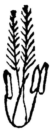 Esta imagen de una hierba, la antera se adhiere al lado inferior, las hojas crecen boca arriba delgadas y un poco largas, dibujo de línea vintage o ilustración de grabado. Ilustración de vector