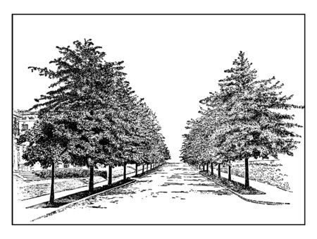 Pin Oaks are an oak in the red oak section Quercus sect, vintage line drawing or engraving illustration.