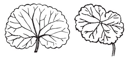 The created leaf is a rounded. The veins go out centrally from the base of the leaf, vintage line drawing or engraving illustration. Ilustrace