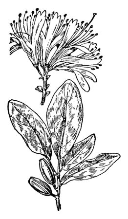 This pictures showing a rhodora. The flowers are small and pinkish-purple. The leaf is very thin and oval shaped. The leaves are broad and oval shaped. This is from Ericaceae family, vintage line drawing or engraving illustration. Illustration