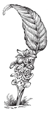Illustrated is the queen lily, curcuma petiolata, in flower. Curcuma petiolata is a plant of the Zingiberaceae or ginger family, vintage line drawing or engraving illustration.