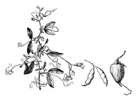 A picture showing a Groundnut plant which is a species in the legume or bean family, vintage line drawing or engraving illustration. Illustration