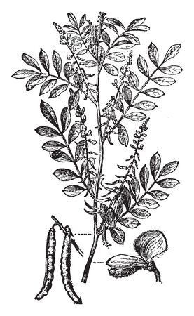 This plant has pinnate leaves and has clusters of usually red or purple flowers. It is from Indigofera genus, vintage line drawing or engraving illustration.