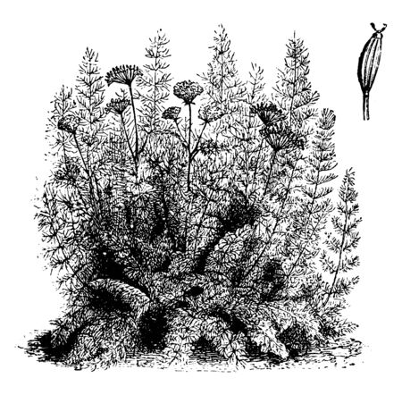 The flowers are white and grow in large umbels. It is a plant of grassland. The delicate, feathery foliage has been used as a condiment and in the preparation of a wide variety of home remedies, vinta  イラスト・ベクター素材